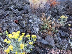 Lava Butte plants