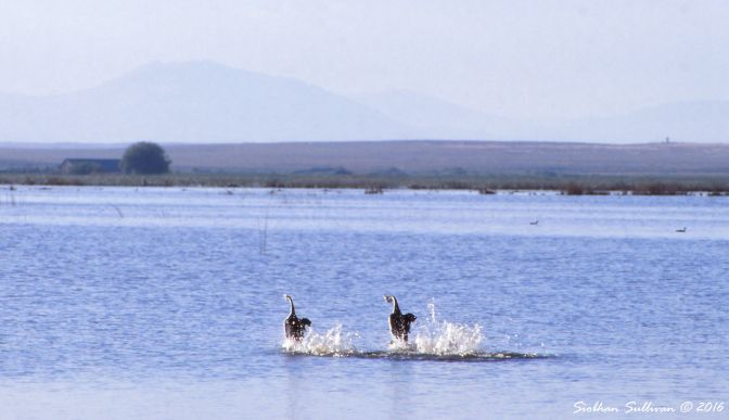 Western grebes doing their mating dance, Malheur NWR, OR