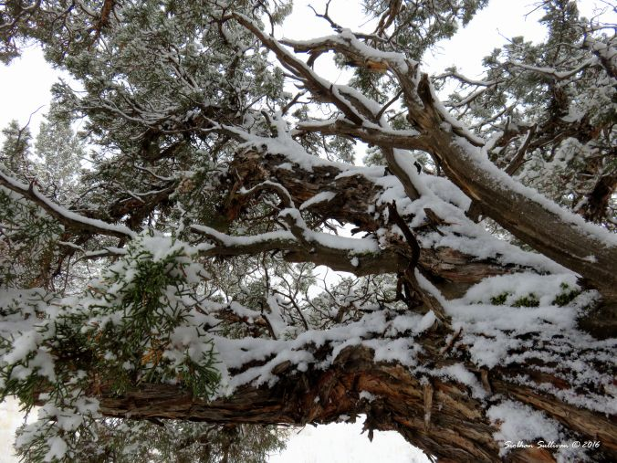 Winter juniper