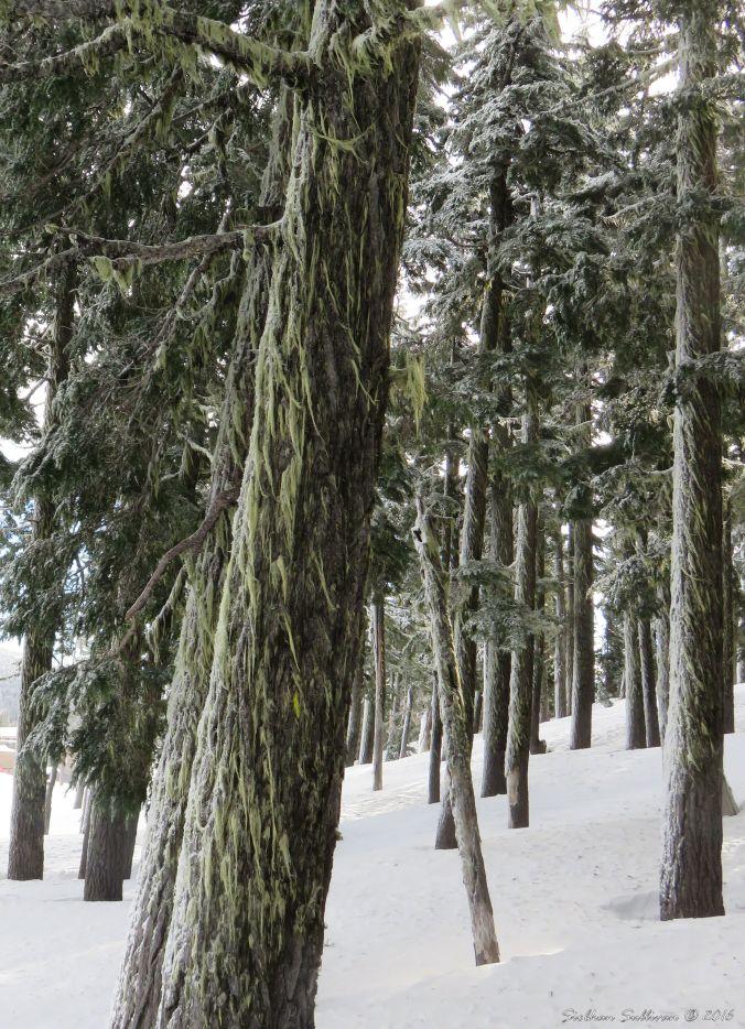 Winter Snowy mountain hemlock
