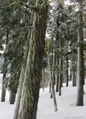 Snowy mountain hemlock