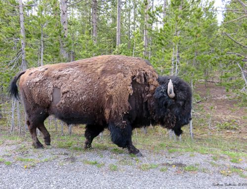 Bison in Yellowstone National Park, WY
