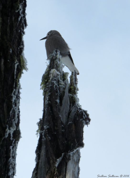Clark's Nutcracker at Mt. Bachelor, OR
