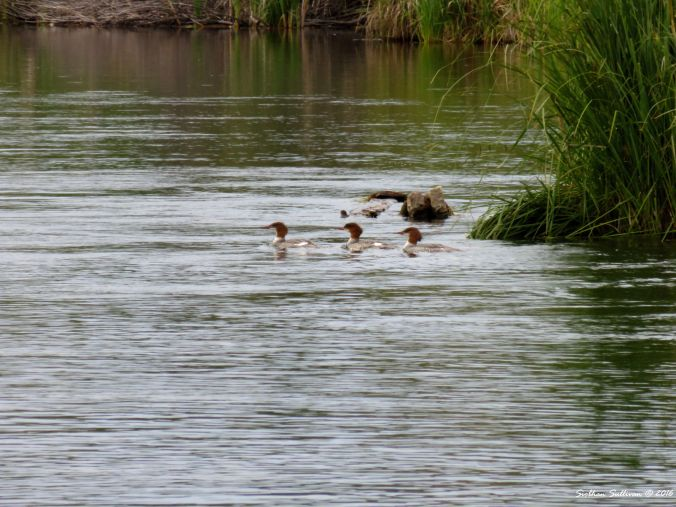 Mergansers Bend,OR