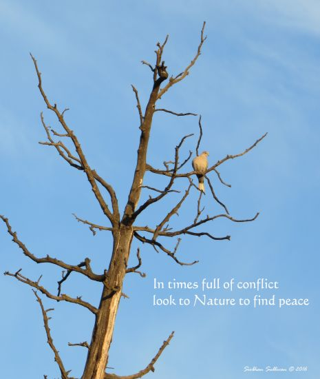 PeaceTree1 March2016 SiobhanSullivan