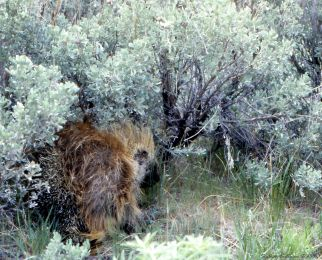 North American porcupine at Hart Mountain National Antelope Range, OR