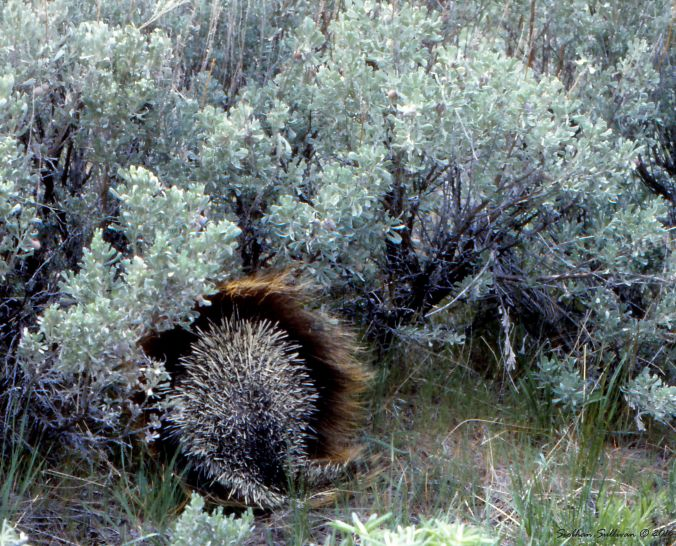 Porcupine2 HartMt May1982