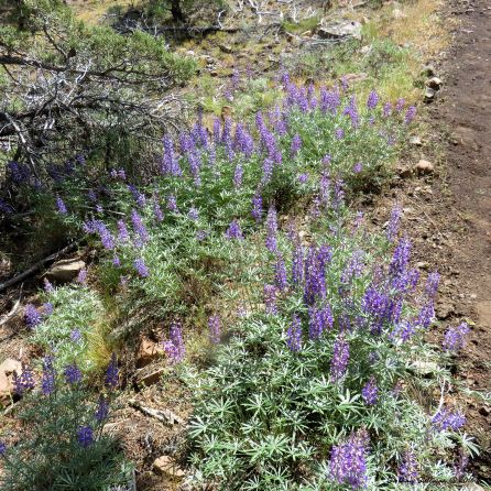 A large stand of lupine in bloom
