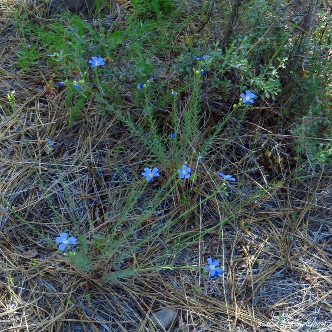 Blue flax, Linum lewisii