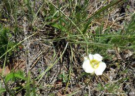 Sego lily, Calochortus apiculatus