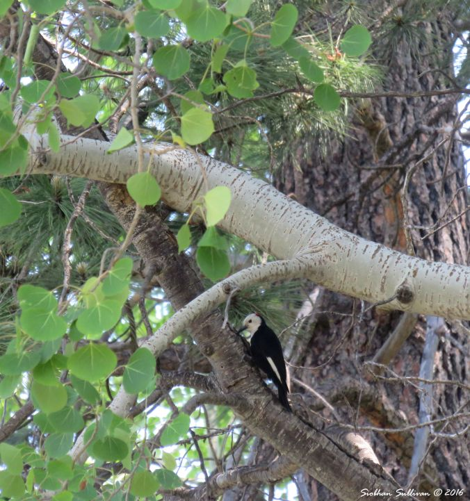 White-headed woodpecker, Picoides albolarvatus