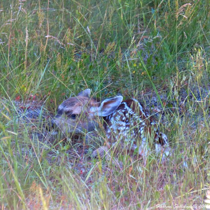 Fawn at Spring Creek near Camp Sherman, OR 25June2016 SiobhanSullivan