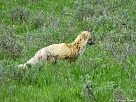 Feeling Foxy at Yellowstone National Park 4June2015