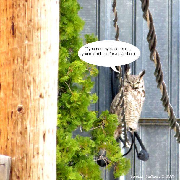 Great Horned Owl Blooper 8 Apr 2016