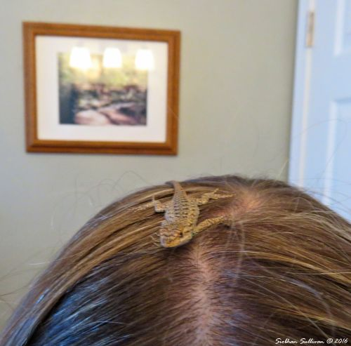 Rare opportunity Young Western fence lizard, Sceloporus occidentalis on my head