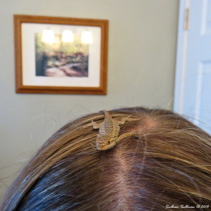 Young Western fence lizard, Sceloporus occidentalis on my head