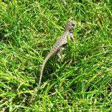 Young Western fence lizard, Sceloporus occidentalis