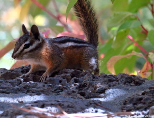 Alvin! Chipmunk, Bend, Oregon 27Sept2016