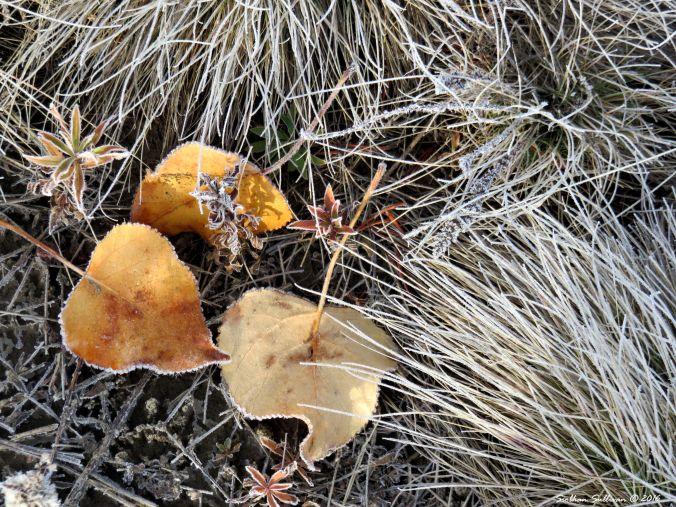 Fringed with frost in a meadow at Sunriver 21Oct2016