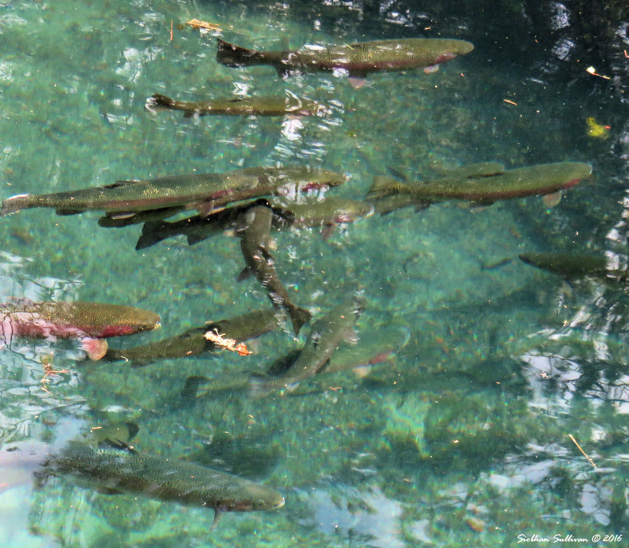 Fish at Wizard Falls Hatchery 3June2016