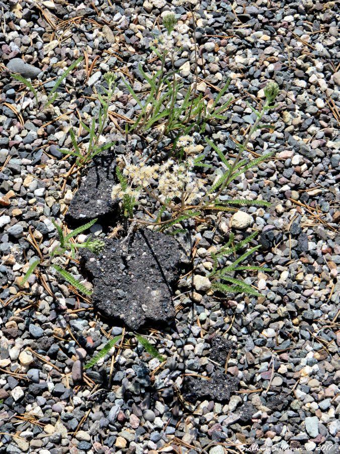 Persisting Plant June2015.jpg