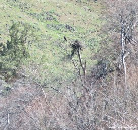 Osprey nest on Trout Creek trail 3Apr2017