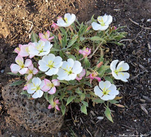 Water wise garden. Desert primrose in landscape 29May2017