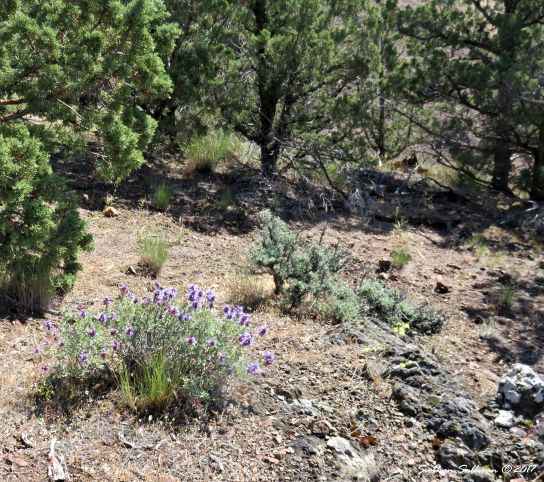 Purple sage in the wild, Gray Butte, Oregon 15May2016