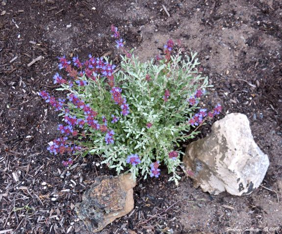 Purple sage in landscape 14June2017