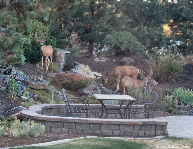 Three mule deer pruning the landscape 17July2017