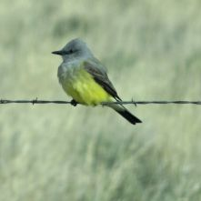 Western Kingbird at Fort Rock, Oregon 21April2017
