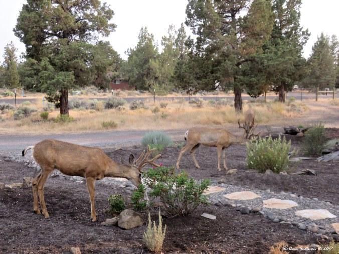 Three mule deer in Bend, Oregon 9August2017