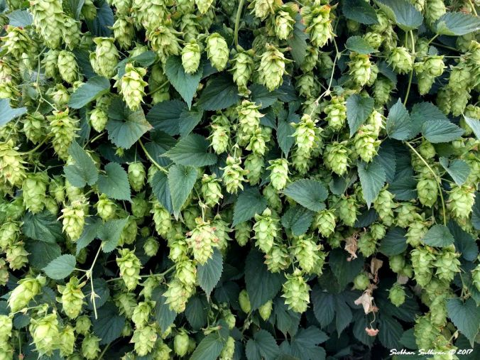 Beer flowers - Hops in Bend, Oregon 27August2017