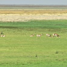 Herd of pronghorn at Malheur NWR in Oregon 14Sept2017