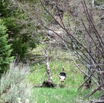 Wild turkey at Great Basin National Park, Nevada 7May2017
