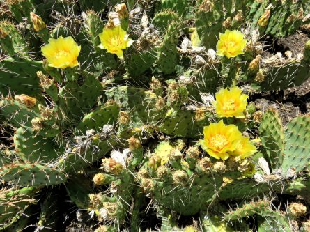 Yellow flowers on beavertail cactus 1July2017