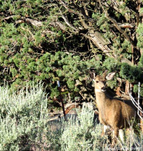Mule Deer 10June2016