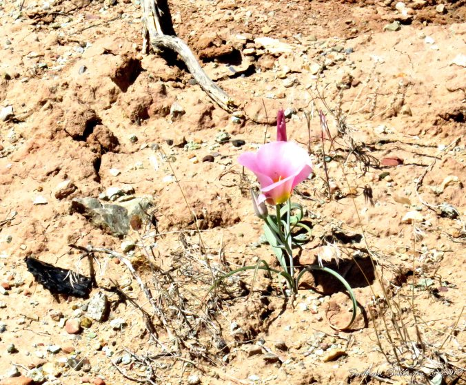 Sego Lily National Park, Utah 3May2017