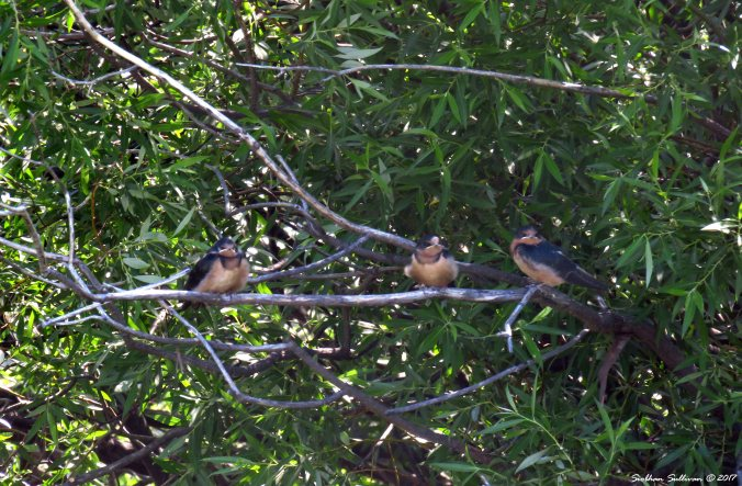 Young barn swallows perched in a willow tree at Sunriver, Oregon 1July2017