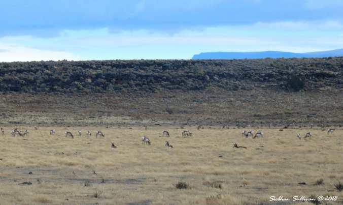 Pronghorn herd near Hart Mountain, Oregon 1November2017