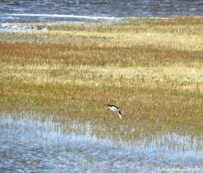 Steens mountain tour, black-necked stilt in eastern Oregon 6April2018