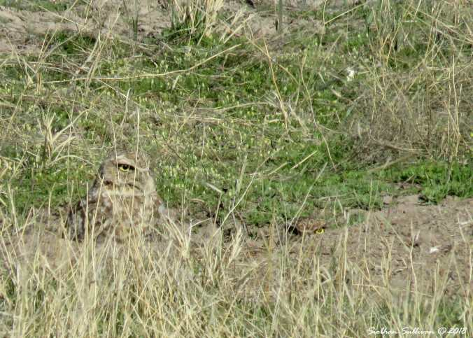 Steens mountain tour, burrowing owls eastern Oregon 6April2018
