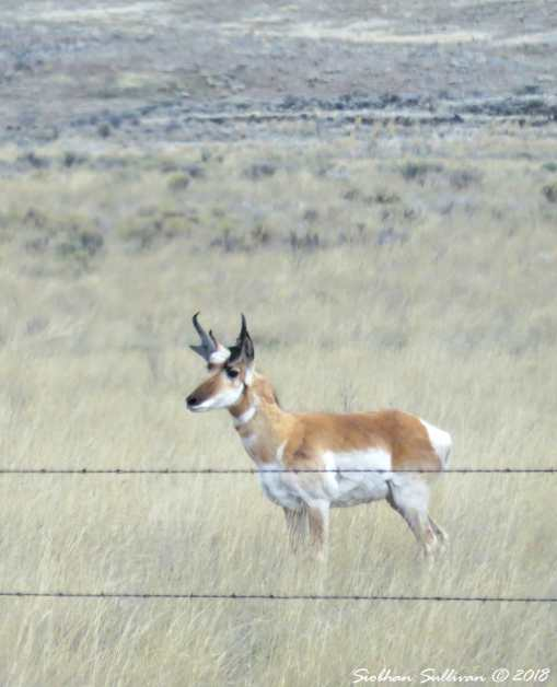 Steens mountain tour, pronghorn buck eastern Oregon 6April2018