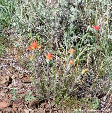 Gray Butte Indian Paintbrush 9May2018