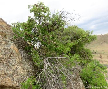 Cliffside shrubs at Clarno Palisades 15May2018