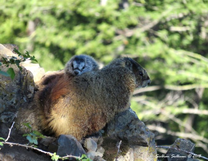 Yellow-bellied marmots at play in Yellowstone National Park, Wyoming 1June2018