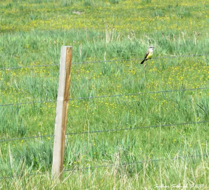 Fence king: Western Kingbird on fence near Fort Rock, Oregon 19May2018
