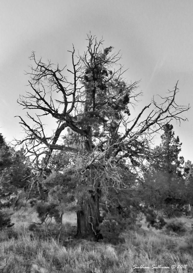 Favorite Tree - Juniper near Bend, Oregon 25September2018