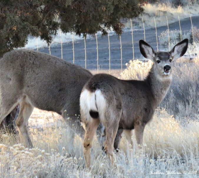 Mule Deer browsing on bitterbrush & sagebrush 9March2018