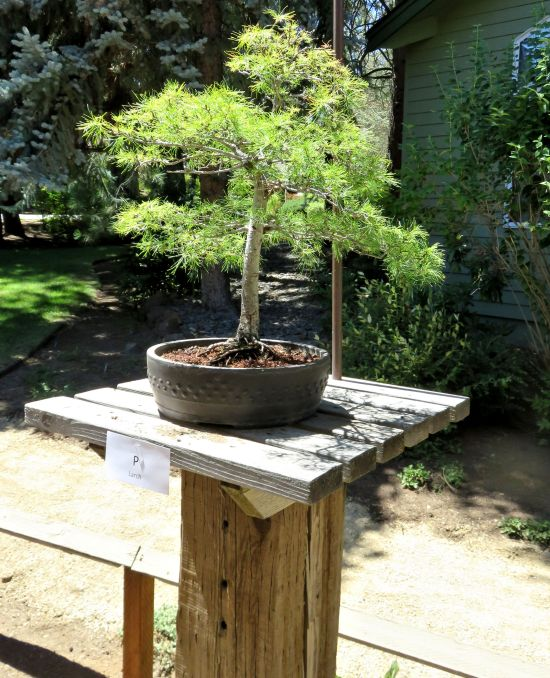 Bonsai tree in Bend, Oregon July 2018